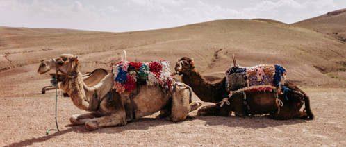 Kamele_entspannen