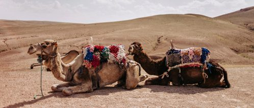 Kamele entspannen