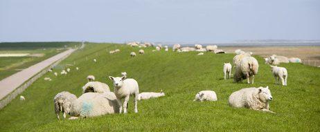 Glückliche Schafe aus Texel