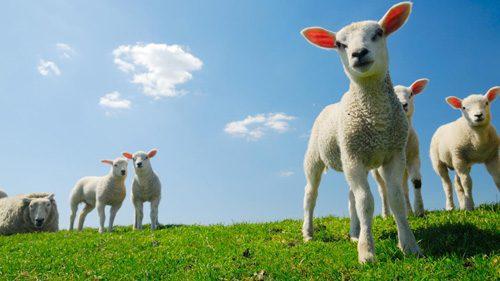 Lamms vorgenommen, damit es nach der Schur nicht friert und die Wolle für die weitere Verarbeitung genügend ausgereift ist.
